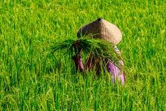 一件桃红色夹克和一个传统圆锥形帽子的妇女收集在稻田的米,巴厘岛,印度尼西亚 库存图片