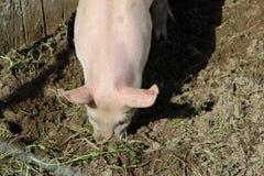 一头桃红色猪的细节 免版税库存图片