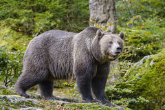 一头棕熊在森林里 免版税库存照片