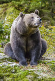 一头棕熊在森林里 库存照片