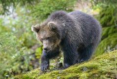 一头棕熊在森林里 图库摄影