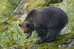 一头棕熊在森林里 库存图片
