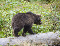 一头棕熊在森林里 免版税库存图片