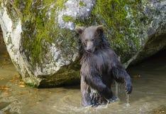 一头棕熊在森林里 免版税图库摄影
