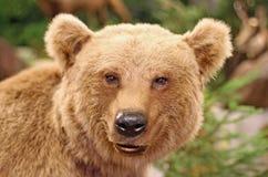 一头棕熊的面孔在森林中间的 免版税库存图片