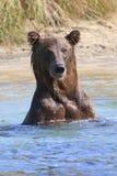 一头棕熊的画象在河 免版税库存图片