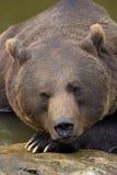 一头棕熊的画象在巴法力亚森林里 图库摄影