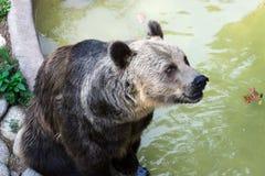 一头棕熊 库存照片