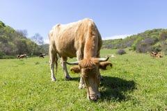 一头棕色母牛在绿色山吃草 免版税库存照片