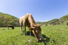 一头棕色母牛在绿色山吃草 库存图片