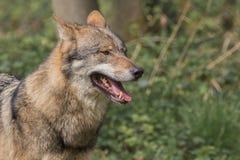 一头欧亚狼的画象 免版税库存照片