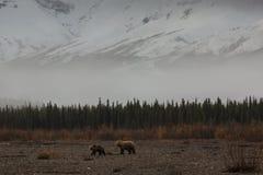 一头母亲北美灰熊和她的Cub在河谷 库存图片