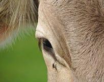 一头母牛和飞行的特写镜头与泪珠的 库存照片
