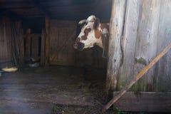 一头母牛在一个木房子里 库存图片