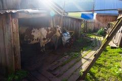 一头母牛在一个木房子里 免版税图库摄影
