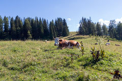 一头母牛在夏天高山草甸 免版税库存图片