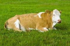 一头母牛在牧场地 库存照片