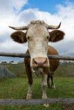一头母牛的正面图在篱芭的 库存照片
