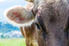 一头母牛的头反对牧场地的 免版税库存照片
