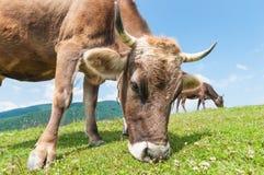 一头母牛的头反对牧场地的 免版税库存图片