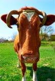 一头母牛的头反对牧场地的 库存图片