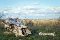 一头母牛的头骨在狂放的自然的 免版税库存图片