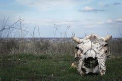 一头母牛的头骨在狂放的 免版税库存照片