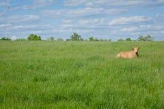 一头母牛 免版税图库摄影