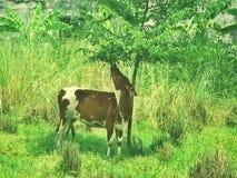 一头母牛 库存图片