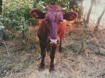 一头母牛 免版税库存照片