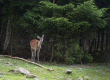 一头母鹿在森林地吃草 库存照片