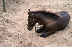 一年轻海湾马驹放置 库存照片