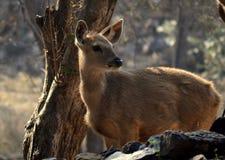 一头海湾鹿在早晨 免版税库存照片