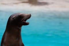 一头海狮的画象与张的嘴的 免版税库存图片