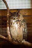 一头灰色猫头鹰在一只笼子坐在动物园里 免版税库存照片