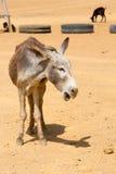 一头灰色驴和他的朋友在哥伦比亚 图库摄影