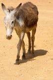 一头灰色驴在哥伦比亚 免版税库存图片