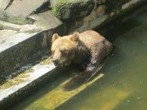 一头熊在水中 免版税库存图片