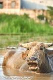 一头水牛的画象与它的嘴的开放在米领域在Phong Nha ke轰隆国家公园,越南 采取a 免版税库存照片