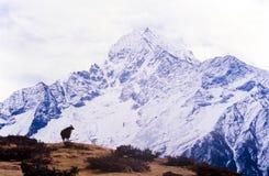喜马拉雅牦牛 图库摄影