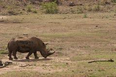 一头犀牛在Pilanesberg国家公园,南非 图库摄影