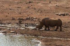 一头犀牛在Pilanesberg国家公园,南非 库存图片