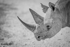 一头黑犀牛的画象,埃托沙国家公园,纳米比亚 免版税库存图片