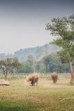 一头狂放的大象横跨灌木走在泰国 库存图片