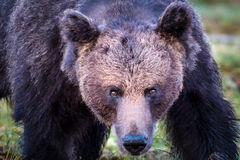 一头狂放的男性棕熊的面孔 库存照片