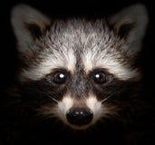 一头狡猾浣熊的画象 免版税库存照片