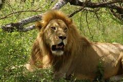 一头狮子 库存图片