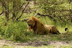 一头狮子 图库摄影
