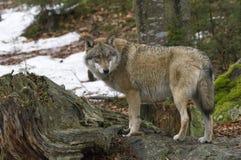 一头狼在漂泊森林里 库存图片