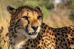 一头猎豹在非洲 免版税图库摄影